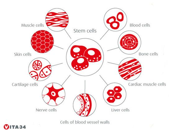 Différenciation de cellules souches Vita 34